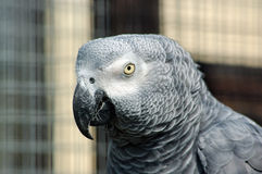 Parrot. Gray Parrot Stock Photography