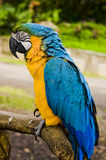 Parrot. Sitting on the branch-Hawaii,Maui-road to Hana-Garden of Eden Stock Photography