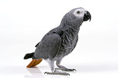 Parrot. African Grey Parrot white background