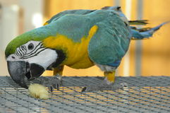 Parrot. Eating parrot on the coop Royalty Free Stock Photography