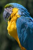 Parrot. Blue and yellow parrot profile Stock Image