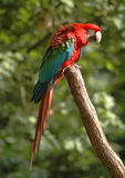 Parrot. Red and blue parrot sitting on a stick royalty free stock photos