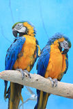 The parrot. Sitting on the branch Royalty Free Stock Images