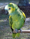 Parrot. Green parrot sitting on his perch Stock Image