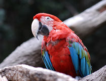 Parrot. Big brightly colored parrot stares at the camera Stock Photos