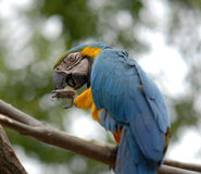 Parrot. Blue parrot taking care of his claw Stock Images