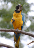 Parrot. Yellow parrot sitting on the branch Royalty Free Stock Images
