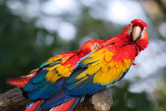 Parrot. The red parrot on the tropical rainforest Royalty Free Stock Photos