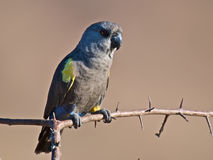 Parrot. This beautiful parrot, Poicephalus rueppellii, is an inhabitant of the western African savanna and desert Stock Photo
