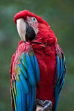 Parrot. Ara on a branch Stock Images