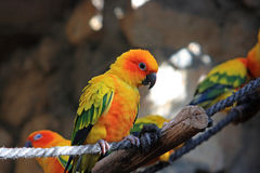 The parrot. Is sitting on the branch Stock Photography