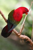 Parrot. A cute and colorful parrot from the tropical rainforest Royalty Free Stock Photography