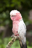 Parrot. Pink parrot in wildlife close up Royalty Free Stock Images