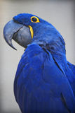 Parrot. Big blue and yellow parrot Royalty Free Stock Image