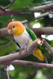 Parrot. Colorful Parrot in pittsburgh aviary Royalty Free Stock Image