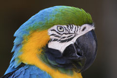 Parrot. Head shot with dark gray background royalty free stock photography