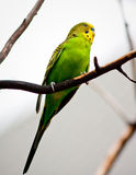 Parrot. A parrots on a branch Stock Photography