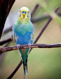 Parrot. A parrots on a branch Royalty Free Stock Image