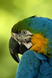 Parrot. A colorful macaw parrot Royalty Free Stock Photography