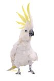 Parrot. White Parrot with yellow feathers on a head Royalty Free Stock Photos
