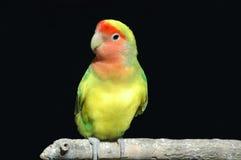 Parrot. Roseicollis on the black background Stock Photos
