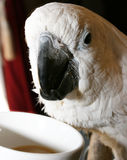 Parrot. Drinking coffee out of a white mug Stock Image