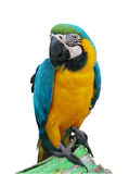 A parrot Royalty Free Stock Photography
