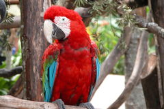 Parrot. Red Parrot Royalty Free Stock Photos