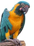 Parrot. A photo of a colorful parrot stock photography