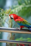 Parrot. A very beautiful colorful parrot doing performance in a short bird show in KL Bird Park Stock Image