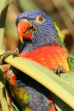 Parrot 2 Royalty Free Stock Photography