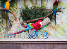 Parrot. Shows how he can ride a bike Stock Photos