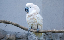 Parrot. Portrait of a white parrot on a tree branch Royalty Free Stock Images