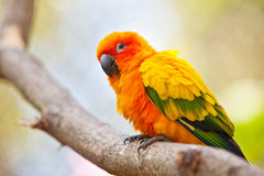 Parrot. A Sun Conure(parrot) stand on a trunk stock photo