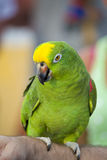 Parrot. Green parrot sitting on arm Royalty Free Stock Photography