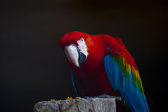Parrot. Macaw Parrot sat on a perch Royalty Free Stock Image