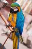 Parrot. Close-up of colorful parakeet parrot Royalty Free Stock Photos