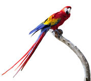 Parrot. A Big Colorful Macaw Parrot Isolated On White stock photo