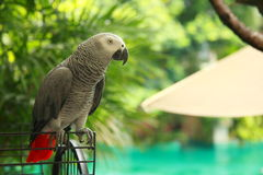 Parrot. On a beach resort, umbrella and pool in the background Stock Images
