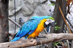 Parrot. Bird Parrot with colourful feather , in Samutprakarn Crocodile Farm & Zoo, Thailand royalty free stock image