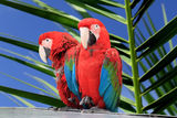 Parrot. Photo of red parrot Macaw Stock Photos
