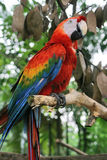 Parrot. Red parrot Royalty Free Stock Photography