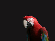 Parrot. Red Macaw stock photography