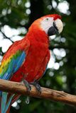 Parrot. Red Parrot Close Up Royalty Free Stock Image