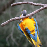 Parrot. Hanging On Stock Photography