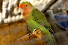 Parrot. Sitting on a branch i got this image via canon 650D Stock Photography