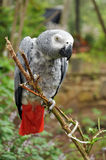 Parrot. A colorful parrot posing on a branch Stock Photo