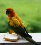 Parrot. Lures piece of bread Stock Image