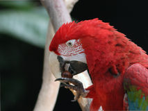 Parrot. Red Macaw eating chestnut Royalty Free Stock Image
