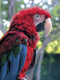 Parrot Royalty Free Stock Photos